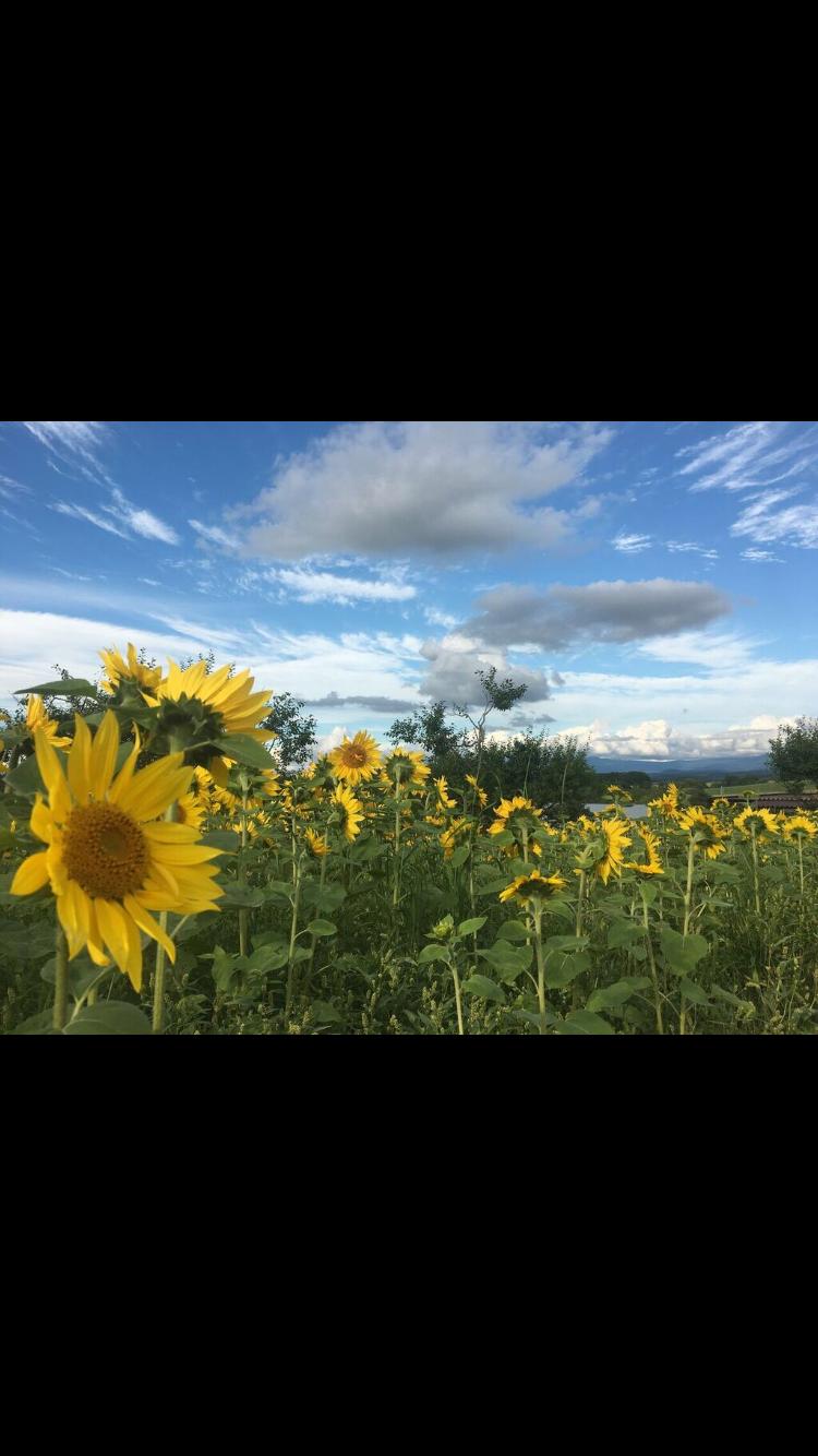 北海道の美瑛町にはひまわり畑も
